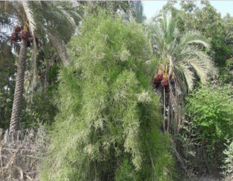 درختی که نفت تولید میکند+ عکس