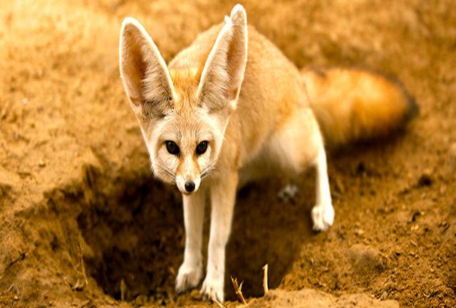 قاچاق روباه شنی ایرانی برای بازسازی محیط زیست عربی/ انقراض روباه شنی، یوز ایرانی را هم در خطر می اندازد