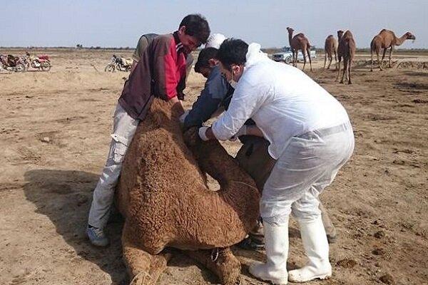 ویروس کرونای مشاهده شده در شترهای منطقه شرق هرمزگان با ویروس کرونای فعلی در چین متفاوت است.