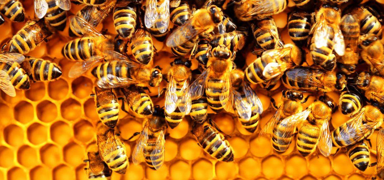 تلف شدن ۴۰ درصد از جمعیت زنبور عسل کشور به دلیل ناشناخته/ درخواست کمک فوری برای نجات زنبورهای باقی مانده