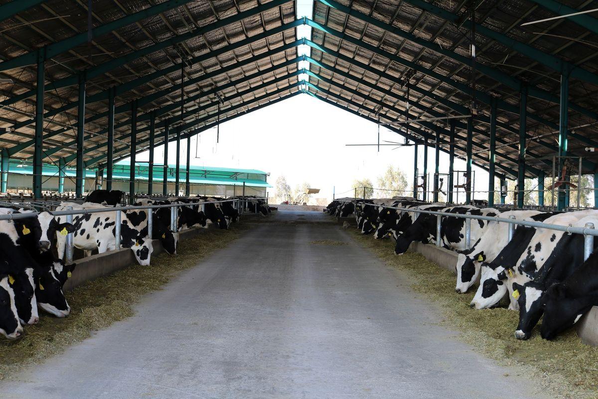 کشتار دام های مولد و خشکسالی، دلایل روند نزولی تولید شیر / کاهش تولید ۵برابر نرخ مرکز آمار است